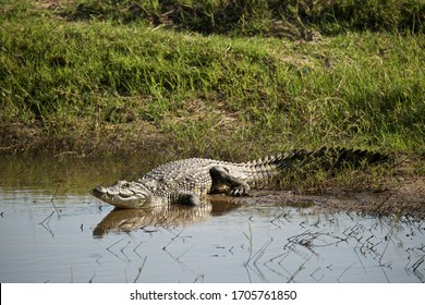 Nile Crocodile moving back into the water