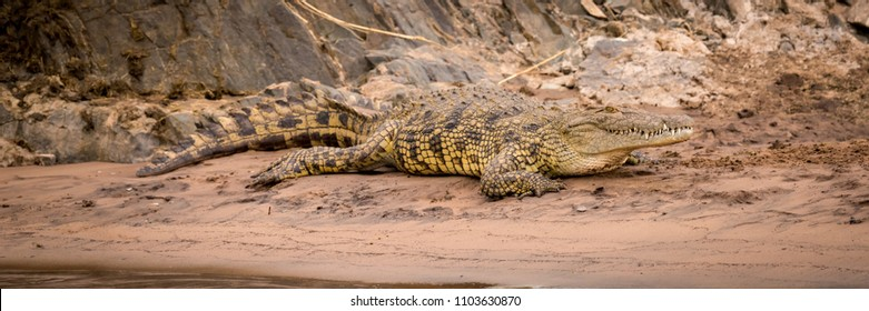 Nile crocodile on sandy riverbank beside rocks
