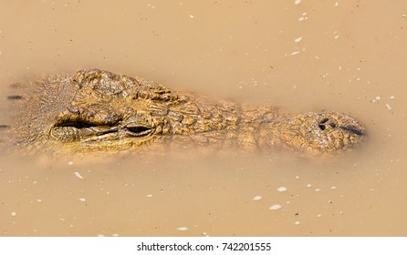 A Nile Crocodile resting in the water next to a riverbank in the Namibian savanna
