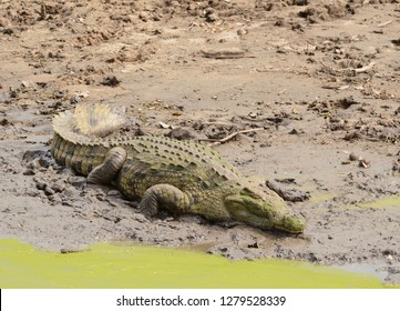 "Nile Crocodile (scientific name: Crocodylus niloticus or ""Mamba"" in Swaheli) in the Serengeti/Tarangire, Lake Manyara, Ngorogoro National park Tanzania"
