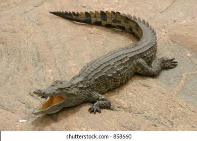 Nile crocodile sunbathing