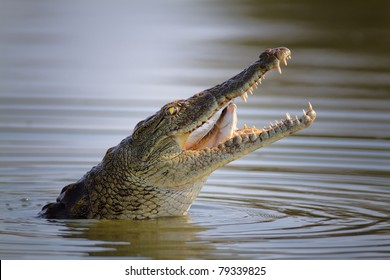 Nile crocodile swallowing a fish; crocodylus niloticus - Kruger National Park