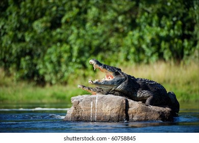 Nile crocodile. Two crocodiles , having opened from a heat to graze, sit on one big stone in the middle of sources of Nile.