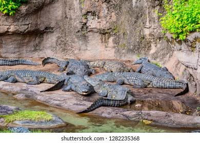 Nile crocodiles basking in the sunshine