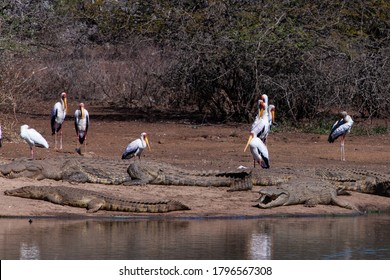 Nile crocodiles and yellow billed storks in the Kruger National Park, South Africa