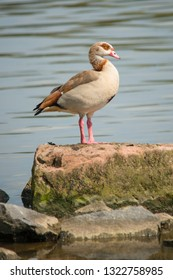 Nile goose stand at a rock at riversde