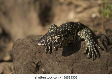 Nile Monitor Lizard on the banks of the Chobe River in early evening