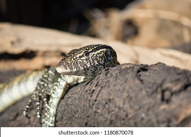 Nile Monitor Lizard sunning on a log on the bank of the Chobe river in Botswana