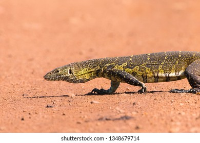 Nile Monitor Lizard (Varanus niloticus) on road, Masai Mara National Reserve, Kenya, Africa