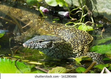 A Nile Monitor Lizard (Varanus niloticus) making its way through a pond choked with lilly pads