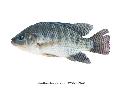 Nile tilapia fish isolated on white background with Clipping Path.