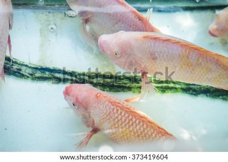 Nile Or Tilapia Fish In Water Tank