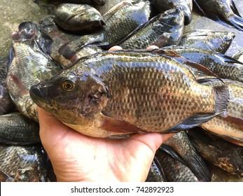 Nile Tilapia, Oreochromis niloticus/ Oreochromis mossambicus