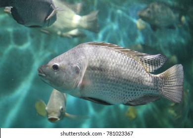 The Nile tilapia  is a species of tilapia, a cichlid fish native to Africa from Egypt south to east and central Africa, and as far west as Gambia.