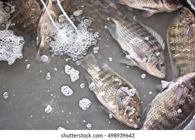 Nile tilapia in water for sell.