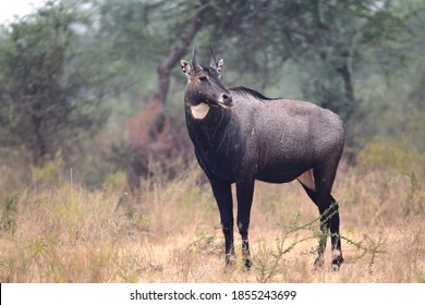 A Nilgai bull nonchalantly surveying his surroundings
