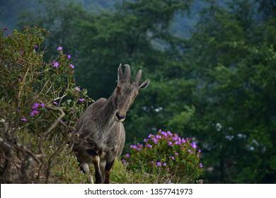 """Nilgiri Tahr from Eravikulam National Park, Munnar, kerala, South India"""