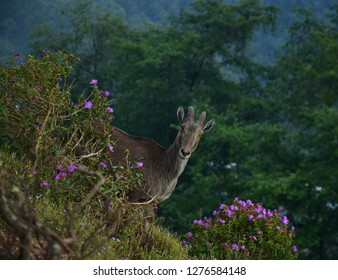 """Nilgiri Tahr or Nilgiri Ibex of Eravikulam National Park, Munnar, Kerala, South India"""