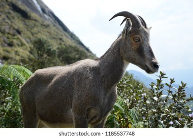 The Nilgiri tahr known locally as the Nilgiri ibex or simply ibex, is endemic to the Nilgiri Hills and the southern portion of the Western Ghats in Kerala and Tamil Nadu in Southern India.