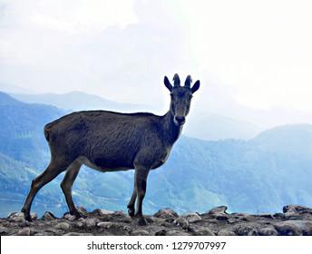 """Nilgiri Tahr (Wild Mountain Goat) of Eravikulam National Park, Munnar, Kerala, South India"""