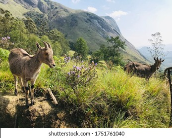 Nilgiri tahr(Nilgiritragus hylocrius)is an ungulate that is endemic to the Nilgiri Hills and the southern portion of the Western&Eastern Ghats in the states of TamilNadu&Kerala in Southern India.