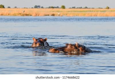 Nilpferd in Chobe National Park