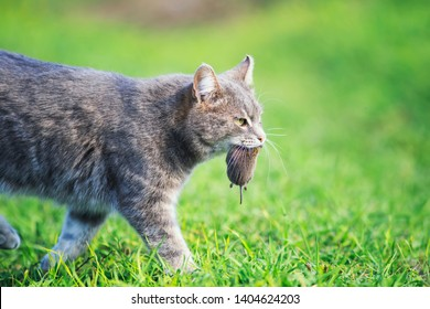 nimble striped cat walks on green grass on a farm in a field with a gray mouse caught in his teeth