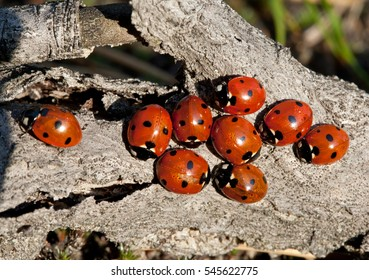 Nine ladybirds (Coccinella septempunctata)