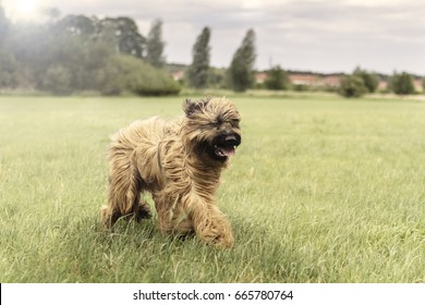 Nine month old Briard dog in full action!