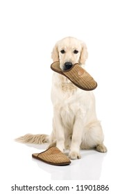 A nine month old golden retriever with slippers on a white background.