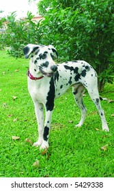 Nine months old great dane standing in a park