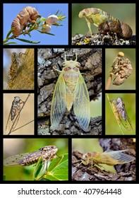 Nine mosaic photos cicadas
