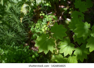 Nine Pointed - Green Leaves - in Forest