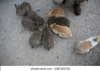 Nine rabbits eat (Okunoshima Island). There are gray, two orange and one with red and white. Feeding animals, one splitter, not like everyone else