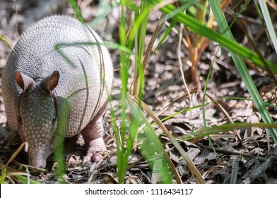 Nine-banded armadillo (Dasypus novemcinctus) foraging for insects in a forest
