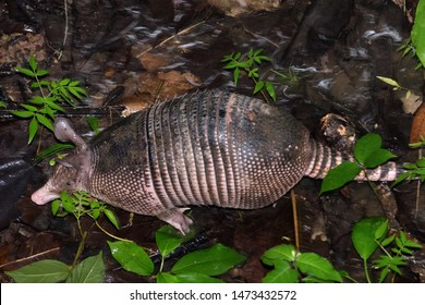 Nine-banded armadillo (Dasypus novemcinctus), or long-nosed armadillo on a Costa Rica rainforest. Puerto Viejo de Sarapiqui.