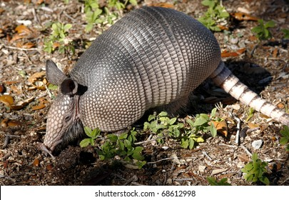 Nine-Banded Armadillo Digging for Insects