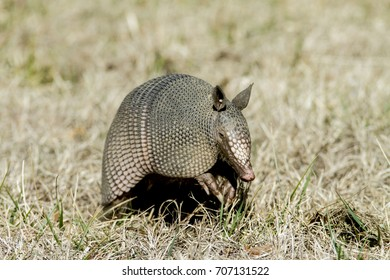Nine-banded Armadillo with leathery armor shell on the Natchez Trace Parkway, Tishomingo County, Mississippi.