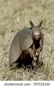 Nine-banded Armadillo standing up with leathery armor shell on the Natchez Trace Parkway, Tishomingo County, Mississippi.