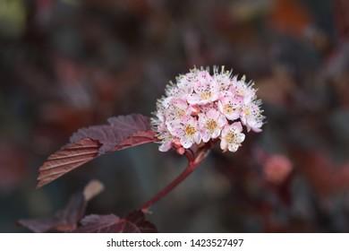 Ninebark Red Baron - Latin name - Physocarpus opulifolius Red Baron