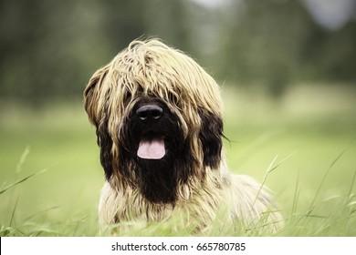 Nine-month-old Briard dog in portrait.