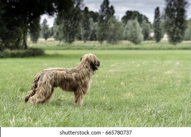 Nine-month-old Briard dog standing on a meadow.
