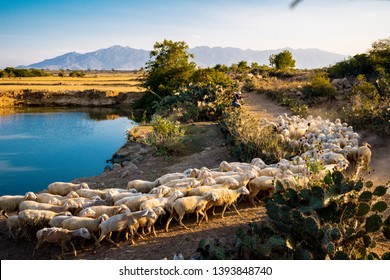 Ninh Thuan Province , VIETNAM - APR 15, 2018: flock of sheep and shepherds at the field at Phan Rang, Ninh Thuan Province, Viet Nam