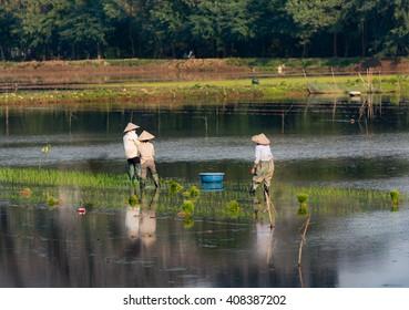 Ninhbinh, Vietnam - Dec 02, 2015: The unidentified farmer is working in the fields in NinhBinh, Vietnam