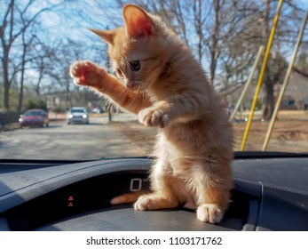 Ninja cat! Orange tabby kitten on a car's dashboard, standing on his hind legs in a martial arts pose.