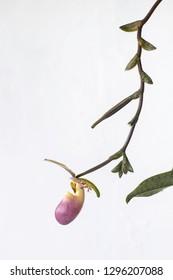 Ninth flowers of Paphiopedillum dodyanum