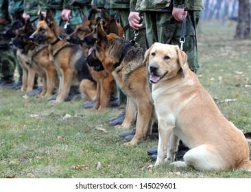 NIS, SERBIA - CIRCA APRIL 2010: Dogs train at army training center circa April 2010 in Nis