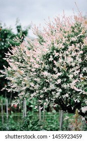 Nishiki decorative willow tree in the garden. Beautiful garden spring flowers. Natural background. Suitable for floral background.