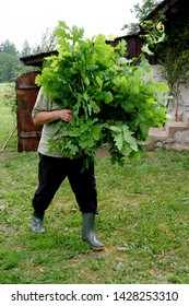 Nitaure, Latvia - june 23, 2009: Man holds big bouquet with green oak branches in her hands, celebration of the midsummer holidays (Ligo) in Latvia.