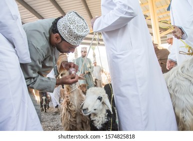 Nizwa, Oman, December 2015: omani man checking the teeth of a goat he is considering to buy at the old Nizwa  goat market